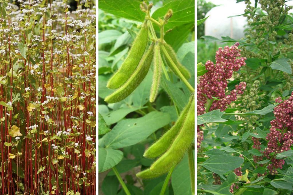 Buckwheat, soy and quinoa plants